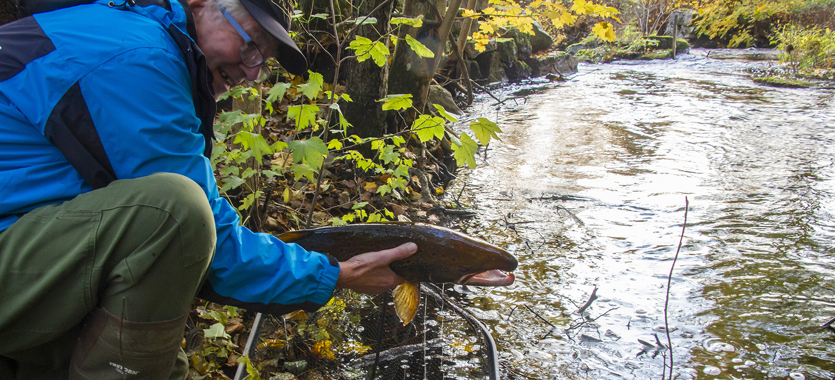 Laxar flyttas uppströms i vattensystemet